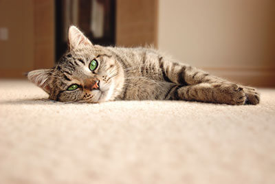 Pet Carpet Cleaning Broomfield